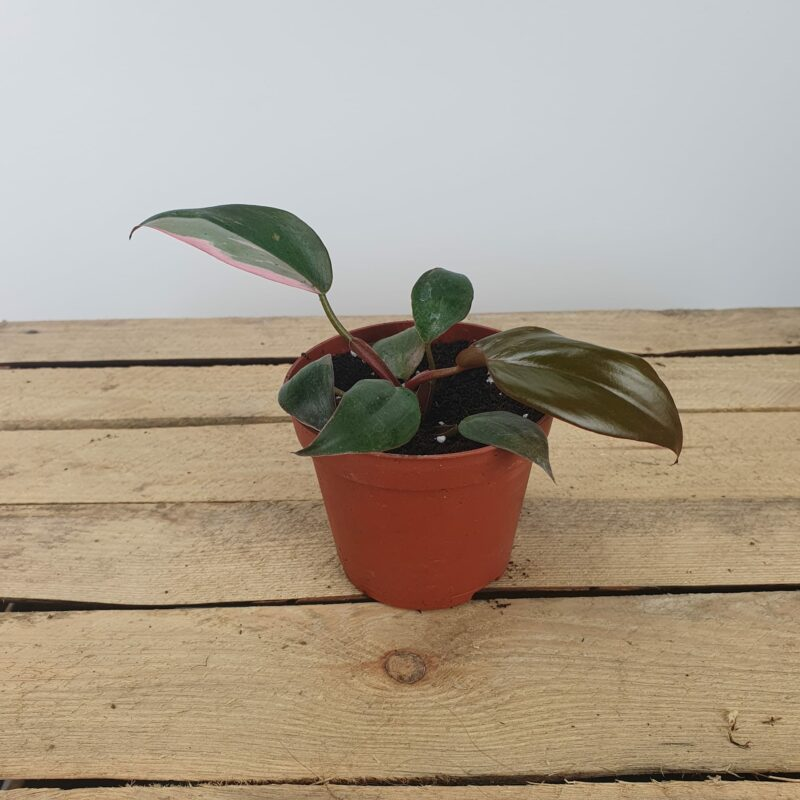 Philodendron pink princess mini
