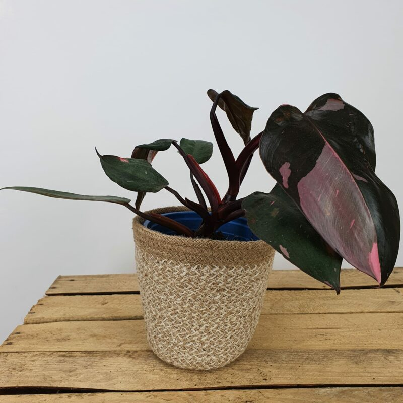 Philodendron pink princess #1