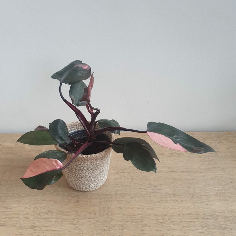 Philodendron pink princess #6