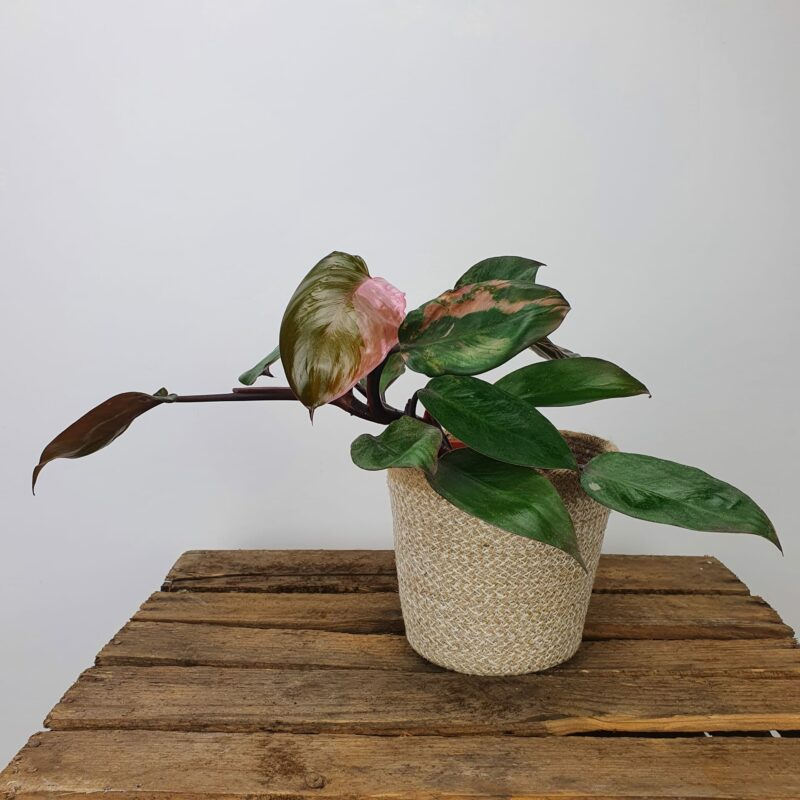 Philodendron pink princess #3