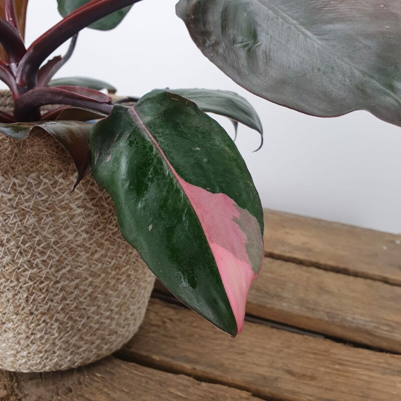 Philodendron pink princess #2