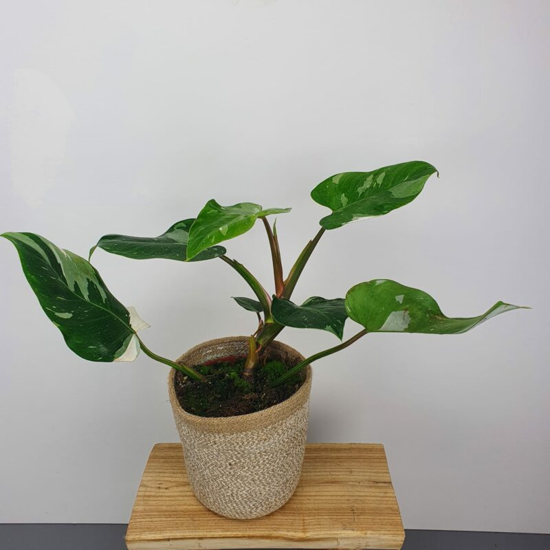 Philodendron white princess #2